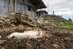 the alp in august (andreassimon) Tags: laugen schwein italien alm südtirol