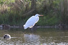 Great White Egret - first in Scotland