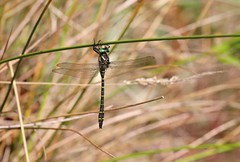 7DM26737 (chogori20) Tags: nature insecte animal libellule dragonfly