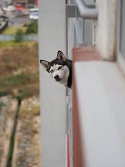 Sonrisas desde un balcón... Husky (jamt70) Tags: husky dog 45mm olympus