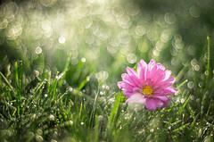 Bokehlicious (* mariozysk *) Tags: flower bokeh takumar 50mm