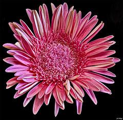 Pink Gerbera (maspick) Tags: flower plant floral bloom blossom petals stamen gerberadaisy pink hdr white iowa unitedstates
