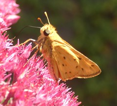 Feiry Skipper (Keith Roragen) Tags: nebraska insect lepidoptera skipper hesperiidae hylephila phyleus fieryskipper omaha