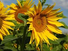 2486ex  soak up the sun (jjjj56cp) Tags: flower flowers blossoms blooms sunflower sunflowers sunflowerfield gormanheritagefarm gorman cincinnati oh ohio cincinnatiohio summer august sun sunny yellow gold p1000 coolpixp1000 nikoncoolpixp1000 jennypansing closeup details