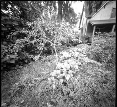 neighbor's front yard, garden, tied sapling, Mitchell Avenue, Asheville, NC, 6x6 pinhole camera, Ilford FP4+, HC-110 developer, August 2019 (1 of 1) (steve aimone) Tags: yard frontyard garden sapling porch asheville northcarolina 6x6 6x6pinholecamera pinhole ilfordfp4 hc110developer 120 120film film mediumformat monochrome monochromatic blackandwhite landscape