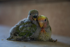 My friends parrots (priolo_immagine_creations) Tags: bird love heron beautiful birds animal animals duck couple sitting affection little beak feathers feather parrot waterbird pelican waterfowl ornithology birdwatching parrots tender avian songbird inseparable celebratelove cute coppia pappagalli