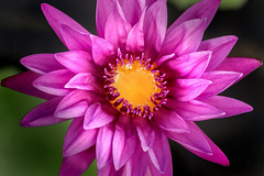 Purple WL 3-0 F LR 9-11-19 J149 (sunspotimages) Tags: flower flowers lily lilies waterlilies purple purpleflower purpleflowers purplelily purplelilies purplewaterlily purplewaterlilies nature waterlily