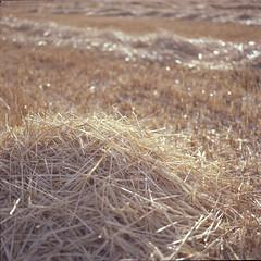 (Ir3nicus) Tags: film selfdeveloped hasselblad500cm carlzeissplanar80mm128ct mittelformat mediumformat 6x6 square 120 kodakektar100 epsonv800 filmisnotdead ishootfilm ilovefilm ausen outdoor stroh straw countryside farmland feld field crop niederlande netherlands