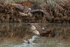Beware of thieves! (Earl Reinink) Tags: osprey fish fishing fight loser claws water lake bird animal nature wildlife earlreinink edhdaaedea