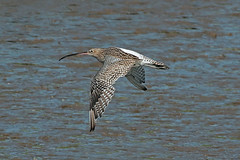 curlew (DODO 1959) Tags: wildlife curlew animal avian birds wader fauna outdoor nature canon 100400mmmk2 7dmk2 carmarthenshire wales kidwellyquay