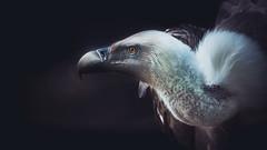 Griffon (michel1276) Tags: griffon vulture geier gänsegeier vogel greifvogel bird birds animal animals worldofanimals zoo sonya7iii sony100400gm
