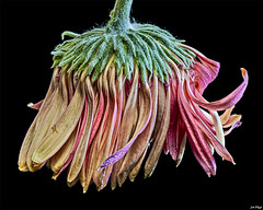 Spent (maspick) Tags: flower plant floral bloom blossom petals stamen gerberadaisy pink hdr white green calyx drooping worn dead iowa unitedstates