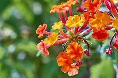 Little flowers... in macro mode! (paoloaddesso) Tags: pentax smc takumar 50mm f4 macro