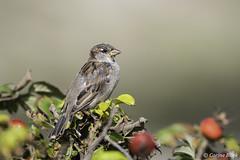 Young House Sparrow (Corine Bliek) Tags: passerdomesticus vogel vogels bird birds wildlife nature natuur natuurfotografie birdphotography young new life jong