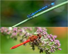 Bavardage (afaribault) Tags: libellule orange demoiselle bleue