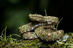Eyelash Viper (Bothriechis schlegelii) (Hamilton Images) Tags: eyelashviper bothriechisschlegelii reptile snake scales venomous bocatapada costarica canon 5dmarkiv 180mm macro january 2019 juancarlosvindasphototours neotropicphototours imgdl7a0671