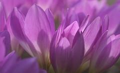 DSC05944 (Argstatter) Tags: krokus blume flower blüten bokeh makro natur pflanze pink