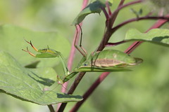 Mante religieuse / Praying mantis (sysmik.yves) Tags: mantereligieuse prayingmantis mante insecte ngc fstop