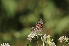 img_100-7311 (Mark Eichin) Tags: massachusetts butterflies acton actonarboretum