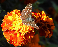 Common Checkered Skipper in the Marigolds (annette.allor) Tags: