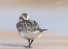 Hora de una cabezadita (lesxanes) Tags: correlimostridáctilo calidrisalba birds aves playa beach rodiles