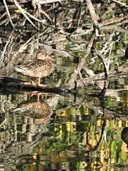 CANARD SOUCHET FEMELLE dans un décor automnal. (jmsatto) Tags: canardsouchet femelle couleurs automne reflets lesulis essonne nature oiseaux