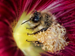 The Drowning Pool (Kathy Macpherson Baca) Tags: insect bee flower bumble hibiscus world nature pollinator earth pollen sweet planet wildlife preserve macro