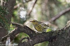 Heading south (rdroniuk) Tags: birds passerines warblers smallbirds setophagatigrina oiseaux parulines parulinetigrée capemaywarbler