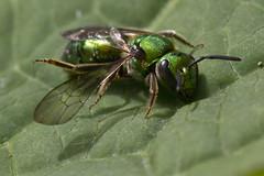 Sweat Bee (Paralyzed?) (brucetopher) Tags: insect bee bug six legs bugs pollen green macro sweatbee sweat hydrangea leaf lying still injured