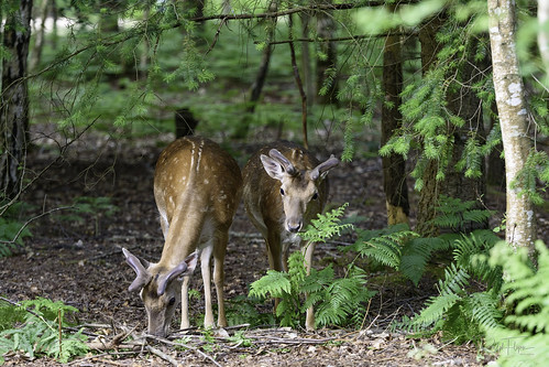 New Forest Deer 6