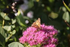 img_100-7300 (Mark Eichin) Tags: massachusetts butterflies acton actonarboretum
