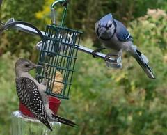 Juvenile Red-bellied Woodpecker (ID Request) And Blue Jay Taken In Northern Illinois IMG_4359 (Ted_Roger_Karson) Tags: redbelliedwoodpecker bluejay northernillinois handheldcamera miniaturecompactpocketcamera canonpowershotsx280hs backyardbirds backyardfriends birdfeeder suet