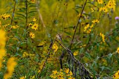 Goldfinch in the Wildflowers (ramseybuckeye) Tags: goldfinch wildflowers yellow prairie habitat lucy braun dock kendrick woods allen county ohio pentax art life nature color