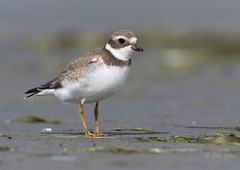 Semipalmated Plover (Eric_Z) Tags: semipalmatedplover plover shorebirds washingtonstate usa canoneos7dmkii ef100400mmf4556lisiiusm