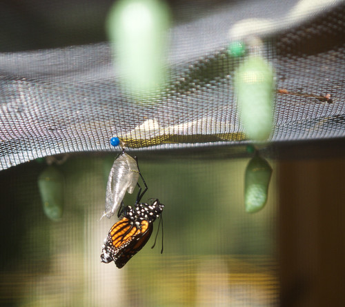 Freshly Emerged Monarch Butterfly Surrounded By Other Crysalises