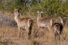 Sabi Sands, South Africa June 19, 2019 (Doug Lambert) Tags: waterbuck antelope mammal animal nature wildlife safari sabisands southafrica sabisabibushlodge kanyeziafricasafaris canon100400ii canon7dmarkii africa outdoors