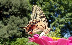 141 (bluefootedbooby) Tags: animali insetti farfalla lepidotteri macaone