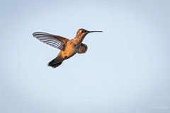 Ruby-throated Hummingbird (Stephen J Pollard (Loud Music Lover of Nature)) Tags: bird ave archilochuscolubris hummingbird rubythroatedhummingbird colibrígargantarubí colibrí zumbador