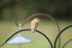 Yellow-bellied Flycatcher at my Bird Feeders (Saline, Michigan) - September 14th & 15th, 2019 (cseeman) Tags: yellowbelliedflycatcher flycatcher summer feeder birds michigan saline backyard yellowbelliedflycatcherseptember2019