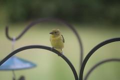 95/366/4112 (September 14, 2019) - Yellow-bellied Flycatcher at my Bird Feeders (Saline, Michigan) - September 14th & 15th, 2019 (cseeman) Tags: yellowbelliedflycatcher flycatcher summer feeder birds michigan saline backyard yellowbelliedflycatcherseptember2019 2019project365coreys yeartwelveproject365coreys project365 p365cs092019 356project2019