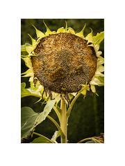 Sunflower (Pictures from the Ghost Garden) Tags: unitedkingdom kent cranbrook sissinghurst nationaltrust gardens historicgardens sunflowers plants
