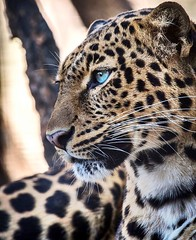 (j-roc2) Tags: feline felino leopardo bigcat leopard léopard