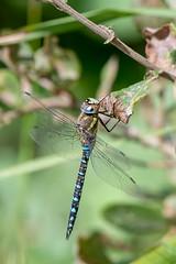 Common Hawker (Gareth Keevil) Tags: autumn commonhawker detail dragonfly eyetoeye garethkeevil justhangingout lancashire nikon nikon500mm nikond500 north rspb rspbleightonmoss reedbed telephoto uk wild