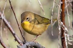 Common Yellowthroat (Gf220warbler) Tags: idaho parulidae warbler passerine songbird migrant marsh wetland