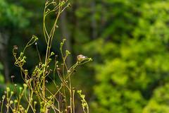 Feeding habitiat (ramseybuckeye) Tags: goldfinch seeds plants bokeh prairie kendrick woods allen county ohio pentax art life nature color