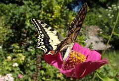 132 (bluefootedbooby) Tags: animali insetti farfalla lepidotteri macaone
