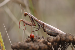 Fascinante mante religieuse / Praying mantis (sysmik.yves) Tags: mantereligieuse prayingmantis mante insecte ngc
