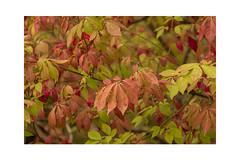 Leaves (Pictures from the Ghost Garden) Tags: unitedkingdom kent cranbrook sissinghurst nationaltrust gardens historicgardens leaves plants