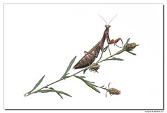 Mantis Religiosa - Mante Religieuse #4 (Maryline ROHER) Tags: highkey mantereligieuse mantisreligiosa