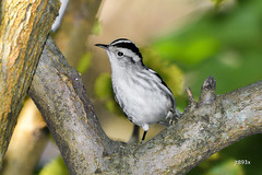 Black-and-white Warbler (jt893x) Tags: 150600mm bird blackandwhitewarbler d500 jt893x mniotiltavaria nikon nikond500 sigma sigma150600mmf563dgoshsms songbird warbler